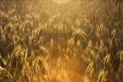 Campo di mais pieno di sole Fotografie Stock Libere da Diritti