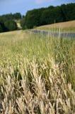 Campo di mais, repubblica Ceca fotografie stock libere da diritti