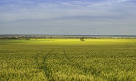 Campo di mais sotto il cielo nuvoloso con colore dell'oro fotografia stock