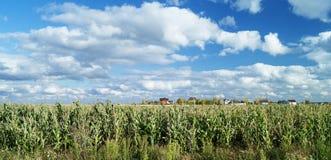 Campo di mais sul cielo blu del fondo Immagine Stock Libera da Diritti