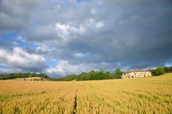 Campo di mais toscano 1 della collina Fotografia Stock Libera da Diritti