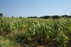 Campo di mais in un giorno soleggiato nel Brasile Immagine Stock