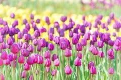 Campo di molti tulipani lilla Fotografia Stock