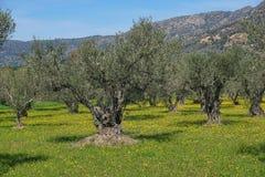 Campo di di olivo con i fiori Spagna Immagini Stock Libere da Diritti