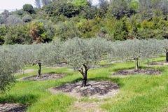 Campo di di olivo nel sud della Francia Fotografie Stock Libere da Diritti