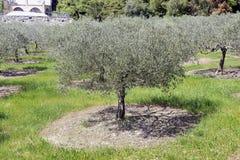 Campo di di olivo nel sud della Francia Fotografia Stock