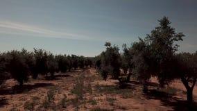 Campo di di olivo vicino a Jaen, movimento molle della macchina fotografica stock footage