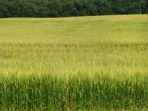 Campo di orzo per industria del foraggio del bestiame o della birra del mestiere immagine stock