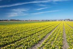 Campo di piccolo narciso in Olanda un giorno soleggiato in spri iniziale Fotografie Stock