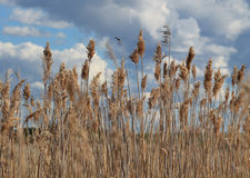 Campo di Reed Immagine Stock