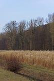 Campo di Reed Fotografia Stock Libera da Diritti