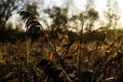Campo di Reed ad alba fotografie stock