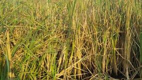 Campo di Reed in palude Fotografia Stock