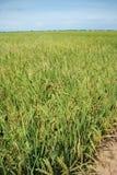 Campo di risaia. Immagine Stock Libera da Diritti