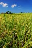Campo di risaia Fotografia Stock Libera da Diritti