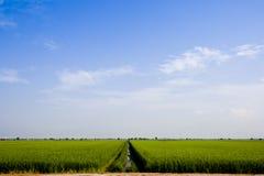 Campo di risaia Immagini Stock Libere da Diritti