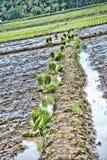 Campo di risaia Immagine Stock