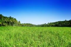 Campo di risaia Immagini Stock