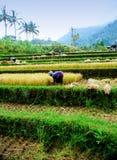 Campo di risaia del Bali Immagine Stock Libera da Diritti