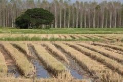 Campo di risaia dopo la raccolta Immagini Stock Libere da Diritti