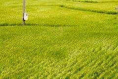 Campo di risaia dorato dalla vista superiore Fotografia Stock Libera da Diritti