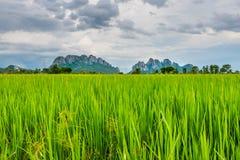 Campo di risaia in Tailandia Immagini Stock Libere da Diritti