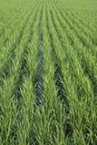 Campo di risaia verde Immagini Stock