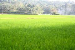 Campo di risaia verde fertile Fotografia Stock