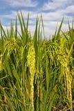 Campo di riso Fotografia Stock Libera da Diritti