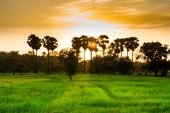 Campo di riso Fotografia Stock