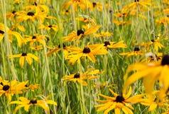 Campo di Rudbeckia giallo Susan Flower osservata il nero immagini stock libere da diritti
