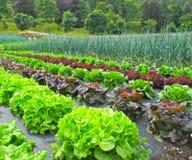 Campo di Salade Immagine Stock