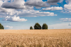 Campo di segale sotto cielo blu con le nuvole fotografia stock