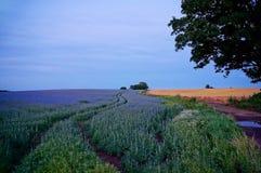 Campo di seme di lino al crepuscolo Immagine Stock