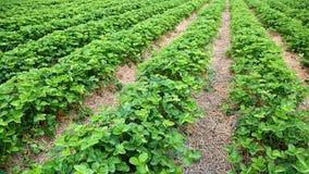Campo di Strawverry con le file delle piante Fotografia Stock