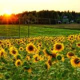 Campo di Sunfliwer nella sera fotografia stock