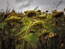 Campo di Sunflowers immagini stock libere da diritti