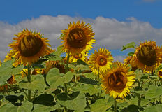 Campo di Sunflowers Immagini Stock