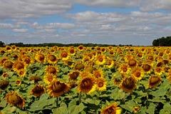 Campo di Sunflowers Fotografia Stock Libera da Diritti