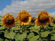 Campo di Sunflowers Fotografie Stock