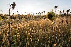 Campo di Sunflowers Fotografia Stock