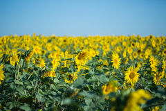 Campo di Sunflowers Immagine Stock