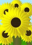 Campo di Sunflowers Fotografie Stock