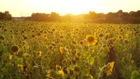 Campo di Sunflowers archivi video