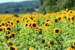 Campo di Sunflowers Composizione della natura Fotografia Stock Libera da Diritti