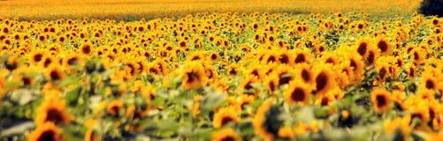 Campo di Sunflowers Composizione della natura Campo agricolo Fotografia Stock Libera da Diritti