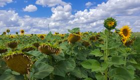 Campo di Sunflowers Estensioni senza fine di terreno agricolo immagini stock libere da diritti
