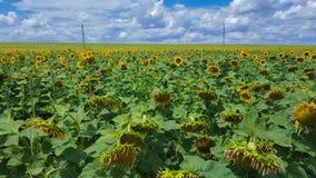 Campo di Sunflowers Estensioni senza fine di terreno agricolo fotografia stock libera da diritti