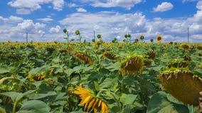 Campo di Sunflowers Estensioni senza fine di terreno agricolo fotografie stock