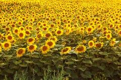 Campo di Sunflowers Paesaggio di ESTATE Fotografia Stock Libera da Diritti